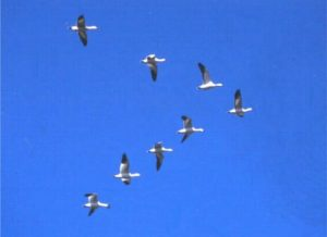 Geese fly in formation